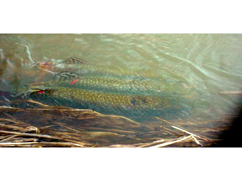 Tagged northern pike spawning in the Welland River, Ontario