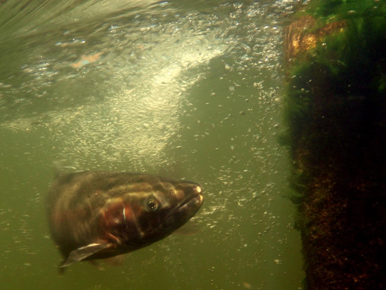 rainbow trout inside fishway