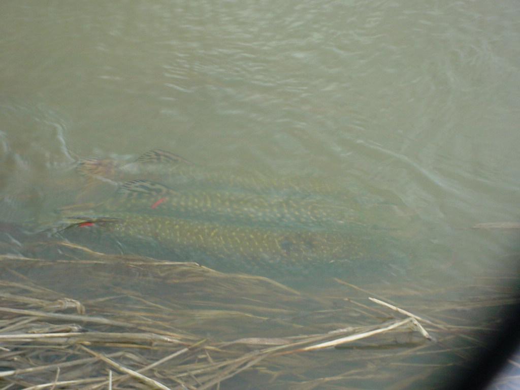 spawning northern pike