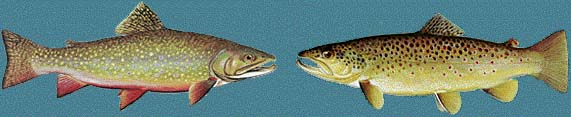 drawing of brown trout