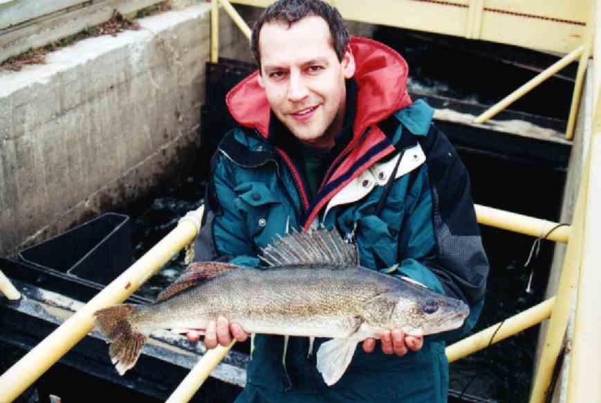adult walleye in fishway