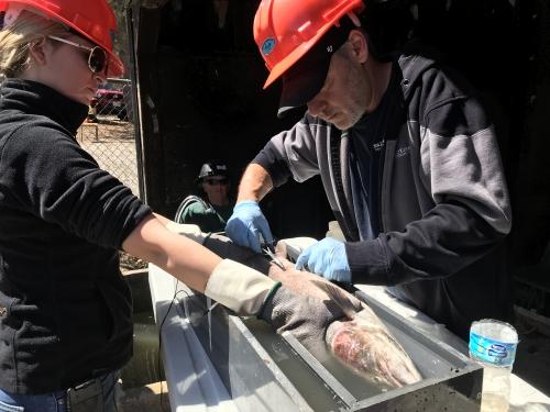 fish surgery rainbow trout